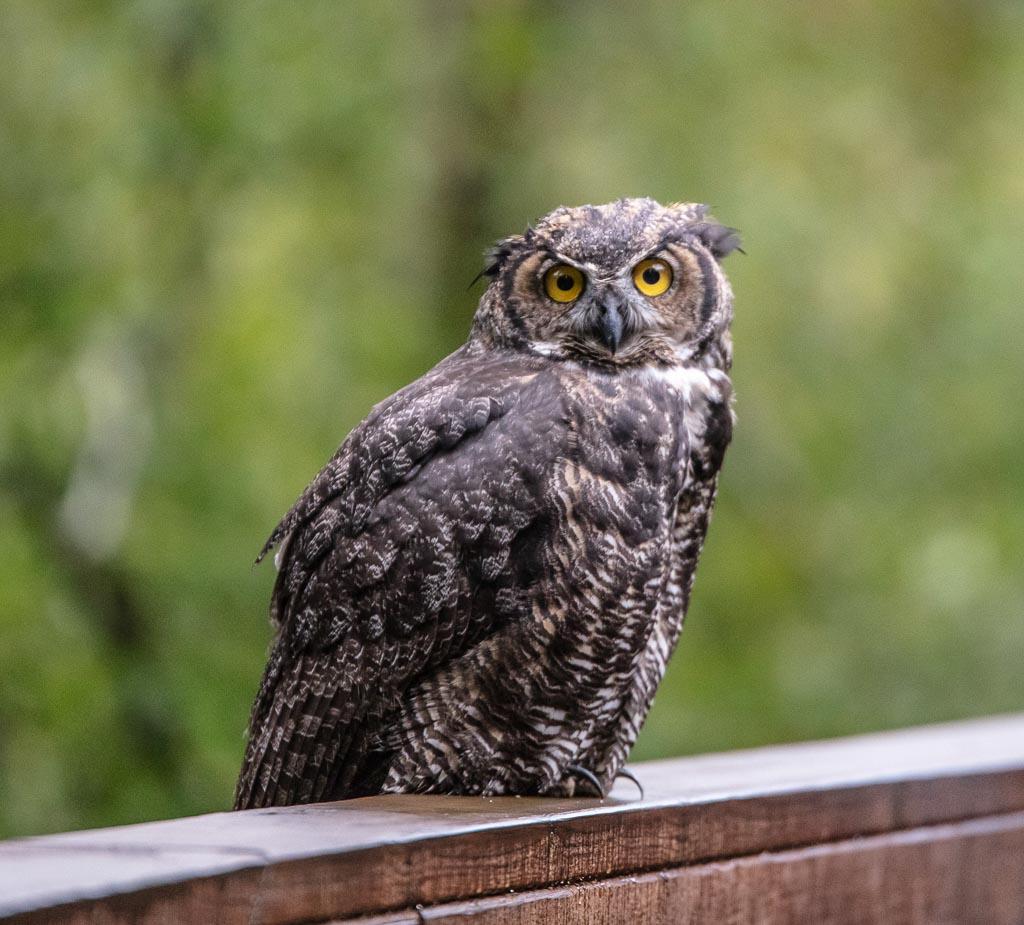 Owl, Eagle River, Alaska, Alaska owl, owl Alaska
