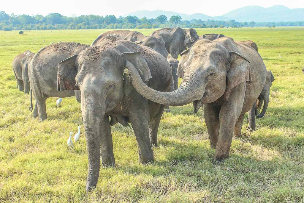 Sri Lanka, Lanka, one week Sri Lanka, Sri Lanka one week, Minneriya, Minneriya National Park, Minneriya Tank, Minneriya elephants, Sri Lanka elephants