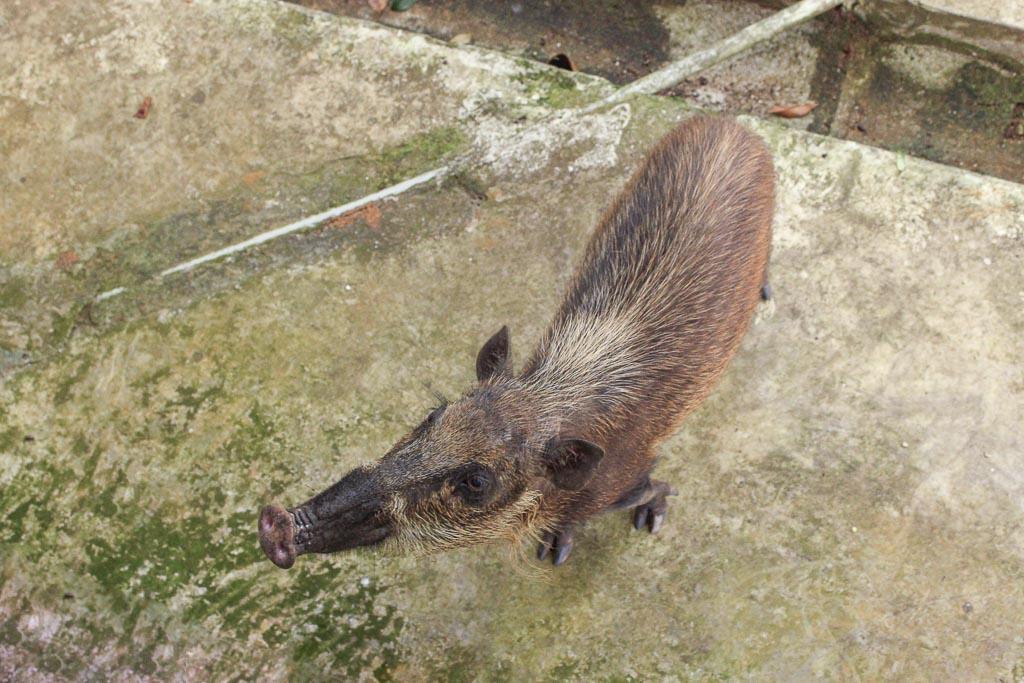 Bako National Park, Sarawak, Malaysia, Borneo, Malaysian Borneo, Malaysia National Park, Borneo National PArk, Sarawak National Park, Bako, Bornean Bearded Pig, Bornean Pig, Bearded Pig, Bornean Bearded Pig Bako, pig Bako