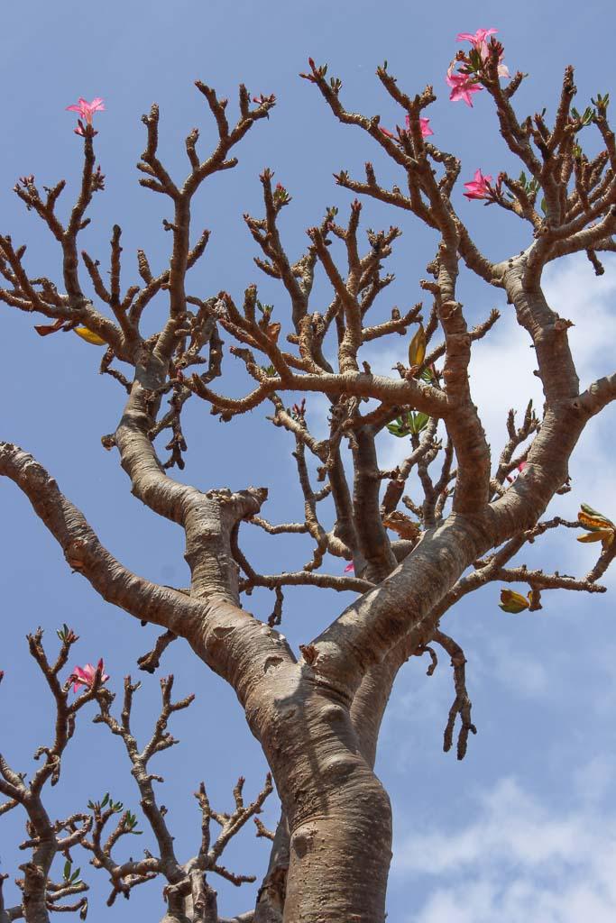 travel to Socotra, adenium obesum, socotranum, socotra bottle tree, bottle tree, desert rose, socotra rose, travel in Socotra, Socotra, Socotra Island, Yemen, Socotra Yemen, Socotra Island Yemen, Yemen Island, Yemen islands, Socotra Archipelago, Yemen,