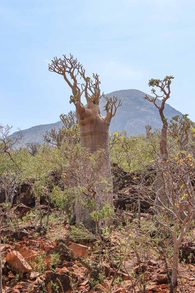 travel to Socotra, adenium obesum, socotranum, socotra bottle tree, bottle tree, socotra rose, desert rose, travel in Socotra, Socotra, Socotra Island, Yemen, Socotra Yemen, Socotra Island Yemen, Yemen Island, Yemen islands, Socotra Archipelago, Yemen,