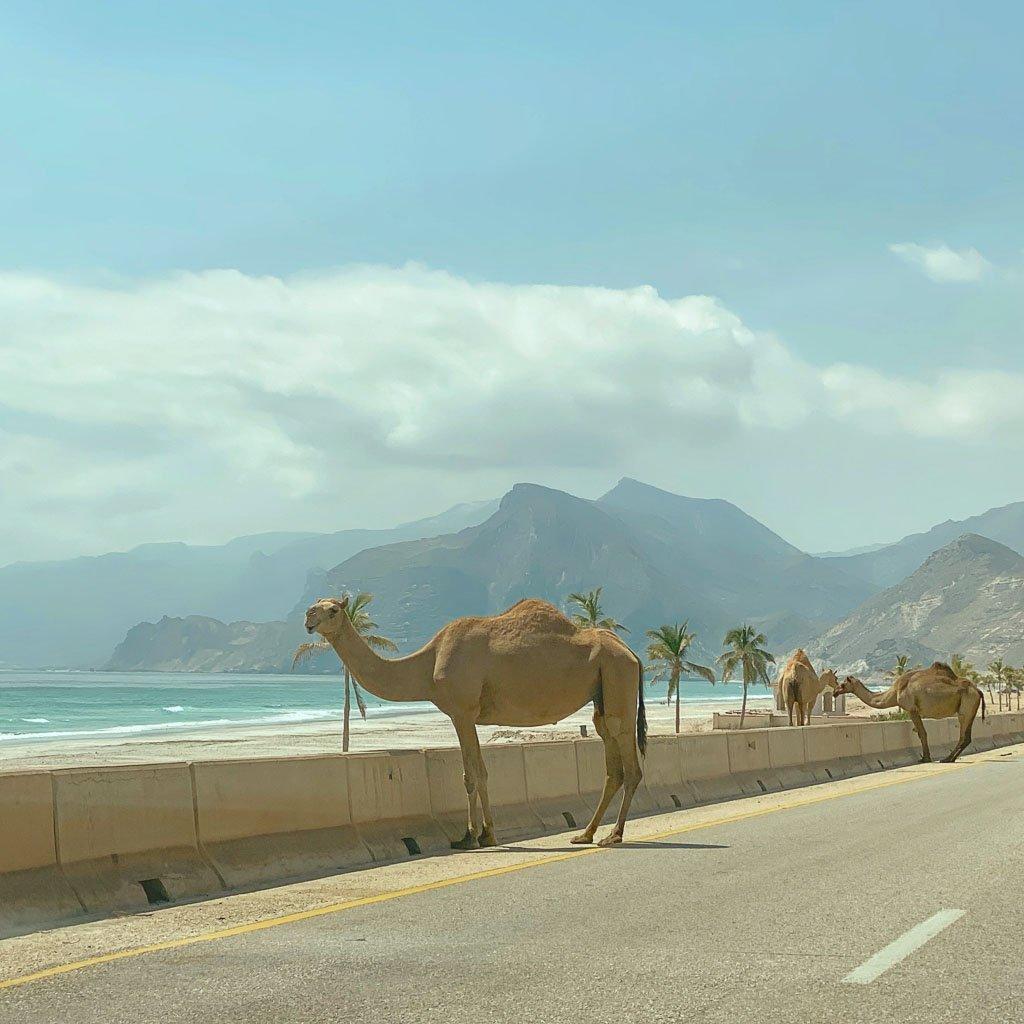 Oman, camels, Mughsail, Mughsail Beach, Dhofar