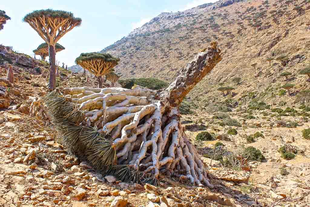 Dragon Blood tree, dragon blood trees, dracaena, dracaena cinnabari, dead dracaena, dead dragon blood tree, homhil, homhil protected area, socotra, socotra island, yemen