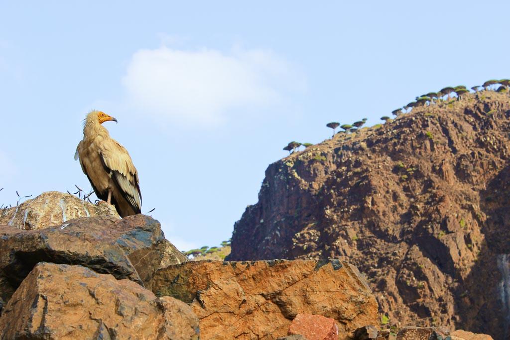 Egyptian Vulture, Wadi Dirhur, Socotra Island, Yemen