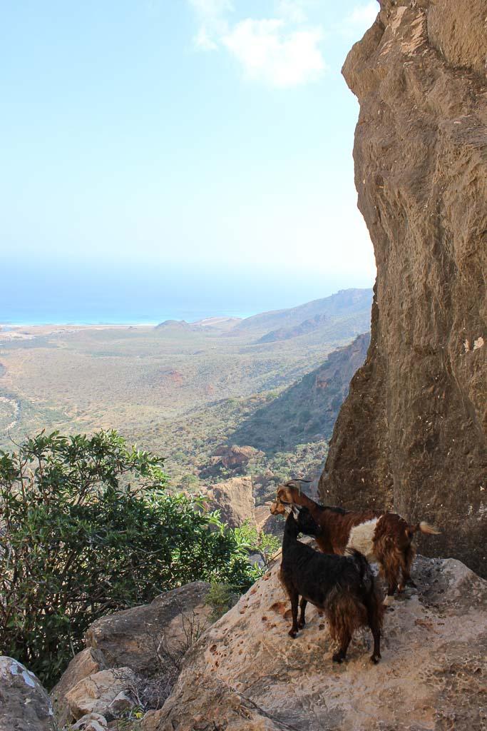 travel in Socotra, Socotra, Socotra Island, Yemen, Socotra Yemen, Socotra Island Yemen, Yemen Island, Yemen islands, Socotra Archipelago, Yemen, goats, goats Socotra, Socotra goats, Homhil goats, Homhil Socotra, Homhil protected area