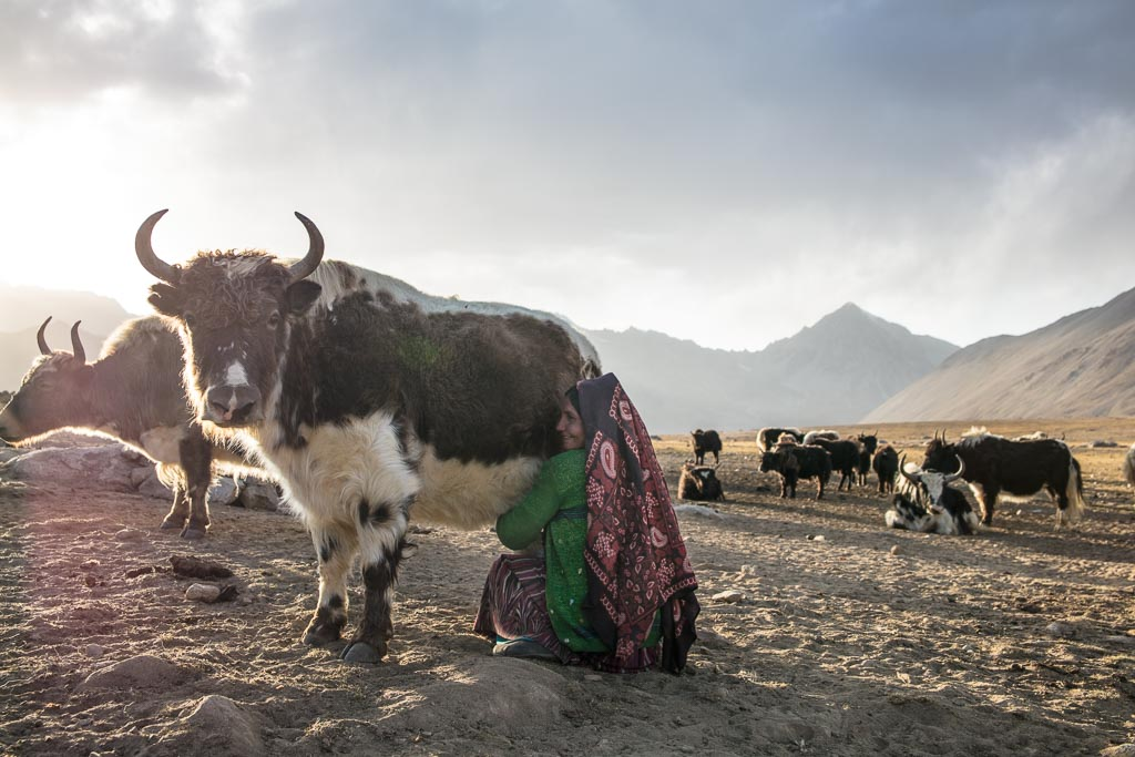 Wakhan photos, photos Wakhan, yak, yak milking, woman milking yak, milking yak Afghanistan, milking yak Wakhan, Wakhi, Wakhi woman, yak milking Pamir, Aksanktich, Aksanktich Afghanistan, Afghanistan, Great Pamir, Great Pamir Afghanistan, Wakhan, Wakhan Valley, Wakhan Afghanistan, Wakhan Corridor
