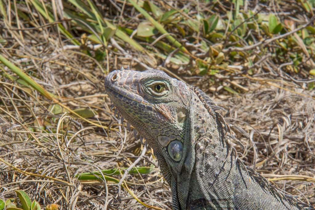 iguana, Cabo Rojo, Puerto Rico, Cabo Rojo Puerto Rico