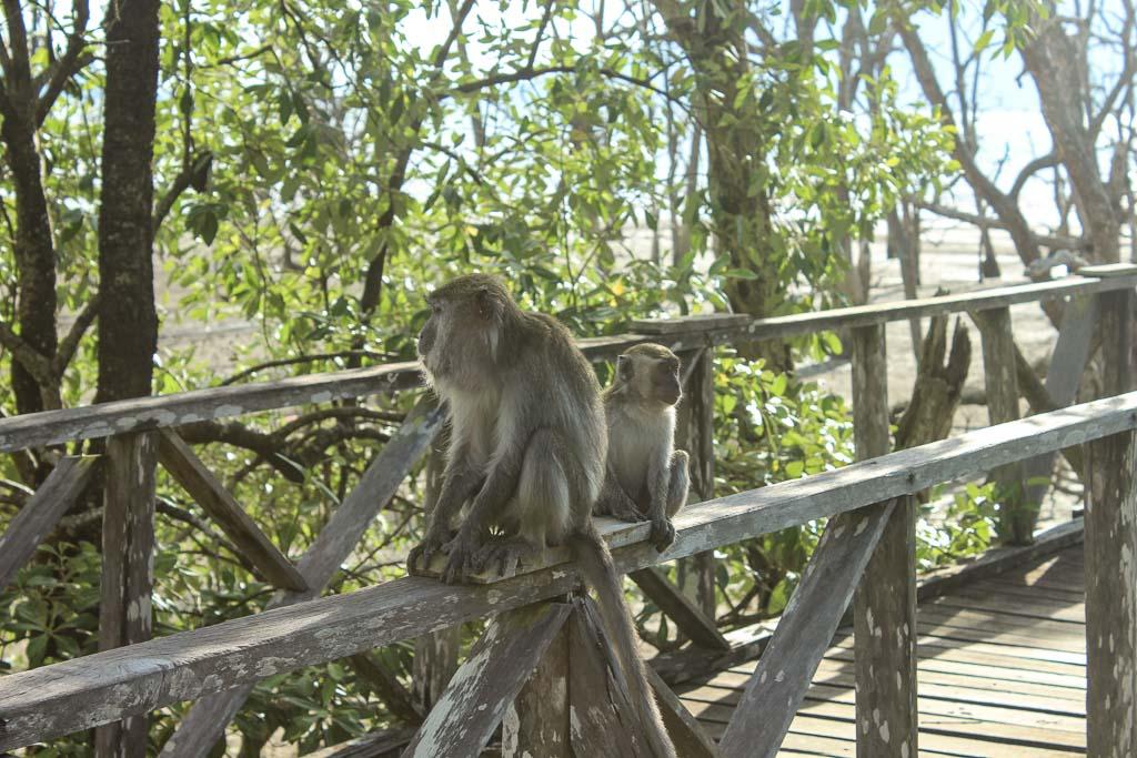Bako National Park, Sarawak, Malaysia, Borneo, Malaysian Borneo, Malaysia National Park, Borneo National PArk, Sarawak National Park, Bako, long-tailed macaque, macaque, Bako macaque, Borneo macaque