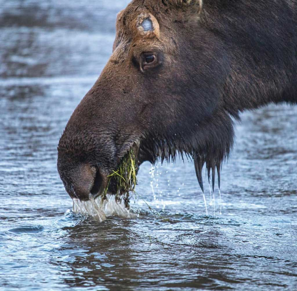 moose, Eagle River Nature Center, Eagle River, Alaska, Alaska Travel Guide