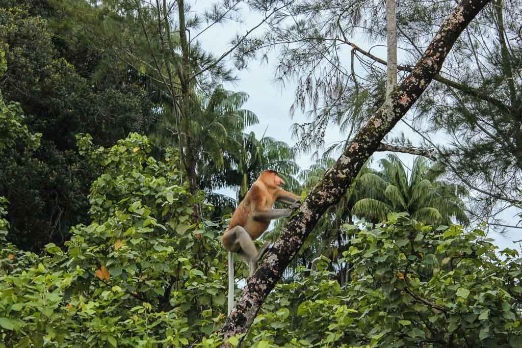 Bako National Park, Sarawak, Malaysia, Borneo, Malaysian Borneo, Malaysia National Park, Borneo National PArk, Sarawak National Park, Bako, Proboscis, Proboscis Monkey, Proboscis Monkey Bako