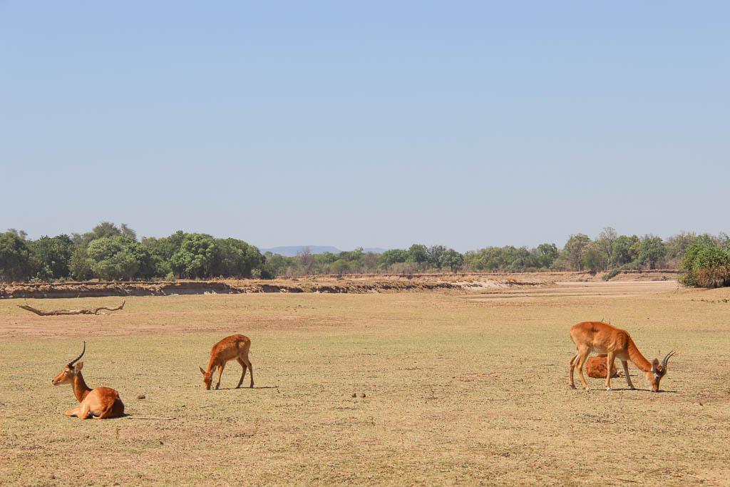 Puku, South Luangwa National Park, Zambia, Africa