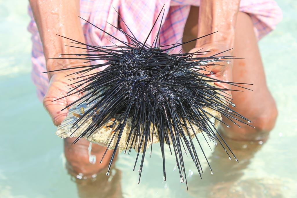 travel to Socotra, travel in Socotra, Socotra, Socotra Island, Yemen, Socotra Yemen, Socotra Island Yemen, Yemen Island, Yemen islands, Socotra Archipelago, Yemen, detwah lagoon, detwah lagoon socotra, detwah socotra, detwah, sea urchin, yemen sea urchin, socotra sea urchin, urchin
