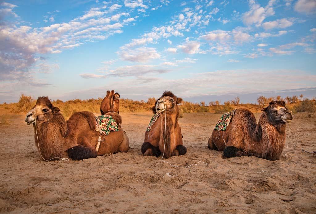 travel Karakalpakstan, Uzbekistan, Central Asia, bactrian camels, camels, camel, bactrian, bactrian camel, Aydarkul, Navoi
