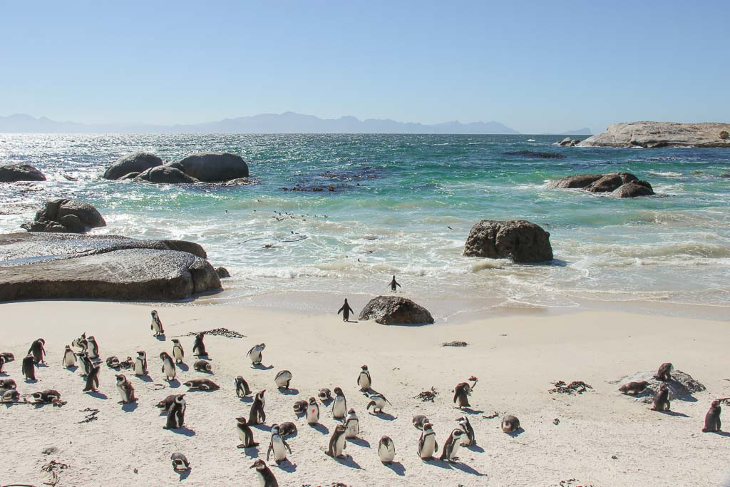 Boulders Beach Penguin Rookery, Boulders Beach Penguin Colony, 3 days in Cape Town, Boulders Beach, Simon's Town, Cape Town, Western Cape, South Africa, penguins, South Africa penguins, penguin, jackass penguin