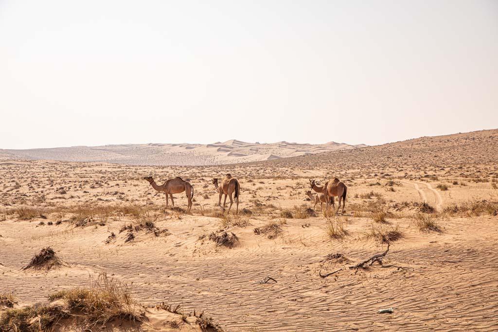 Wahiba, Wahiba Sands, Sharqiya, Sharqiya Sands, Omani Desert, Sand Dunes, Sand Dune, Oman, Middle East, Arabia, Arabian Peninsula, camel, camels, camels Wahiba, camels Wahiba sands, camel wahiba, camels wahiba sands, camel Sharqiya, camels Sharqiya Sands, dromedary, dromedaries, dromedary wahiba, dromedaries wahiba sands, dromedary oman, dromedaries oman, Sharqiya dromedary, Sharqiya Sands dromedary, Sharqiya dromedaries, Sharqiya Sands dromedaries