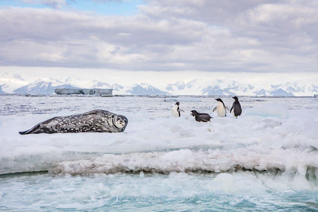 Adelie penguins, Weddell seal, penguin, penguins, Weddell seal and adelie penguins, Cape Adare, Ross Sea, Antarctica, Antarctica Travel, Antarctica Travel Guide