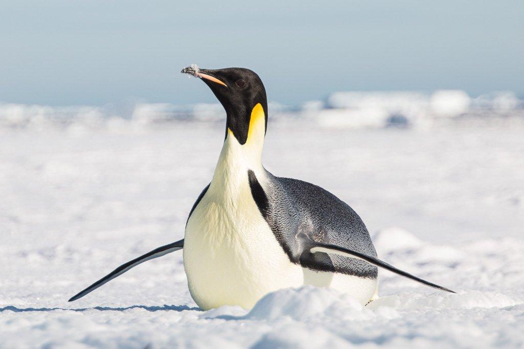 Ross Sea, Antarctica, Emperor penguin, penguin