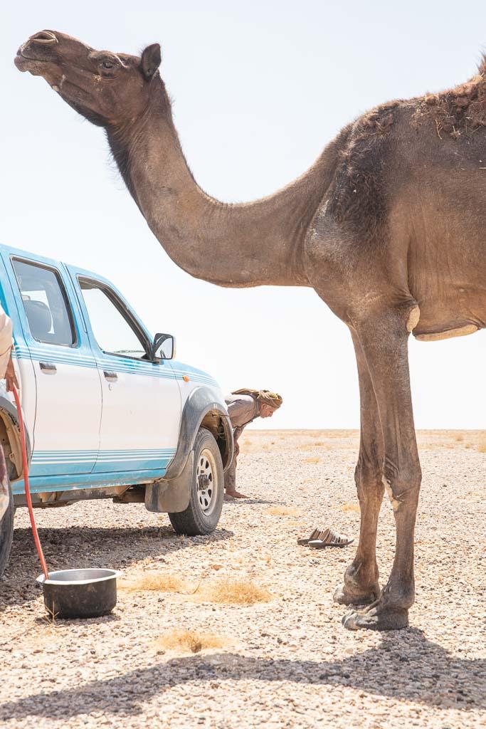 Rub al Khali, Yemeni Rub al Khali, Black camel, camel, Yemen, Yemeni Empty Quarter, Empty Quarter, Arabia, Middle East, Al Mahrah, Mahrah
