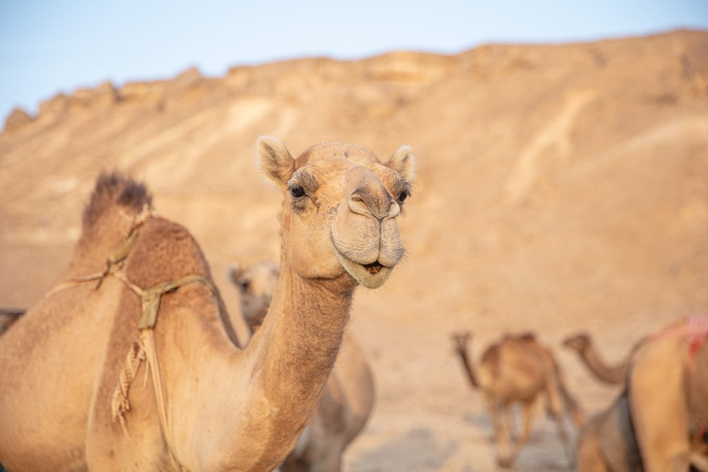 Rub al Khali, Yemeni Rub al Khali, Camel, Yemen, Yemeni Empty Quarter, Empty Quarter, Arabia, Middle East, Al Mahrah, Mahrah