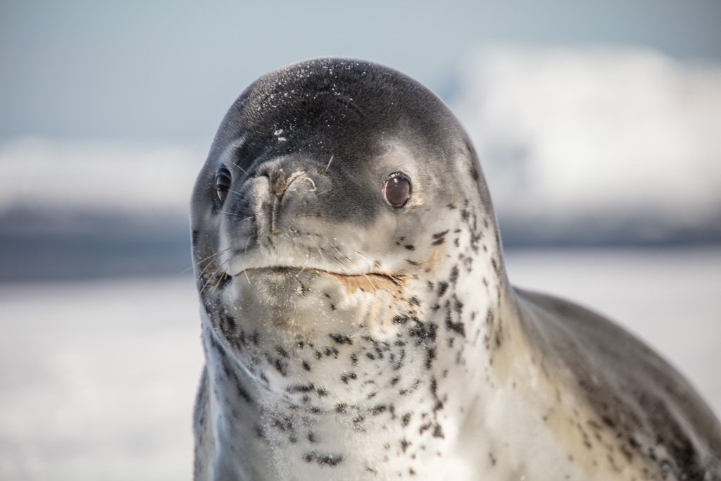 leopard seal, Antarctica, Ross Sea
