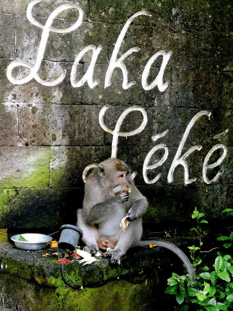 macaque, monkey, ubud, macaque monkey, indonesia
