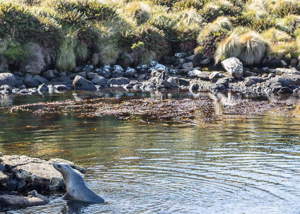 New Zealand Sea Lion, Sea Lion, New Zealand, Campbell Island, Subantarctic, Subantarctic Islands