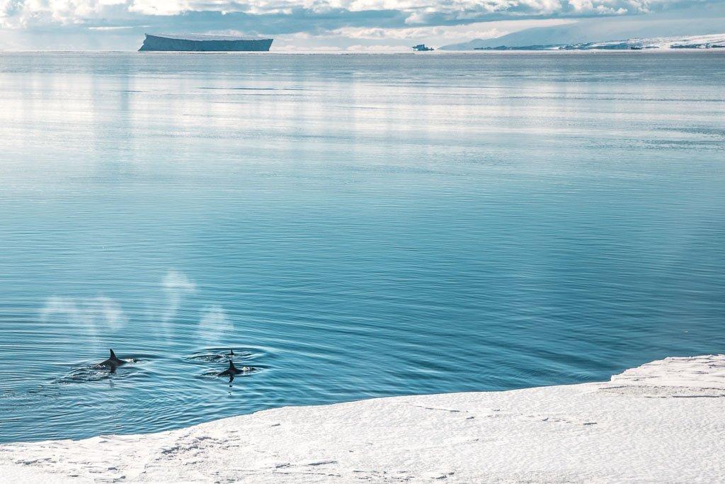 orca, orcas, killer whale, killer whales, Ross Sea, Ross Sea orca, Ross Sea killer whale, McMurdo, McMurdo Sound