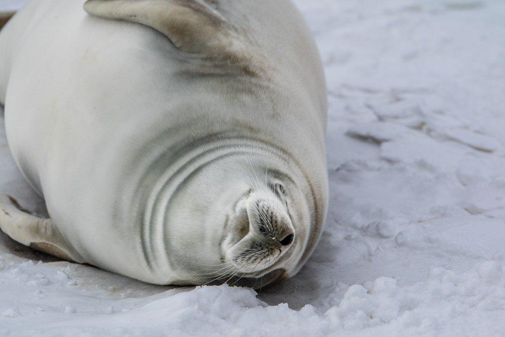seal, franklin island, ross sea, antarctica
