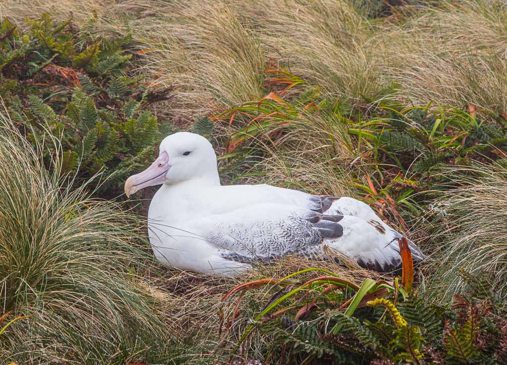 Albatross, Southern Royal Albatross, Campbell Island, New Zealand, Subantarctic, Subantarctic Islands, New Zealand Subantarctic Islands,