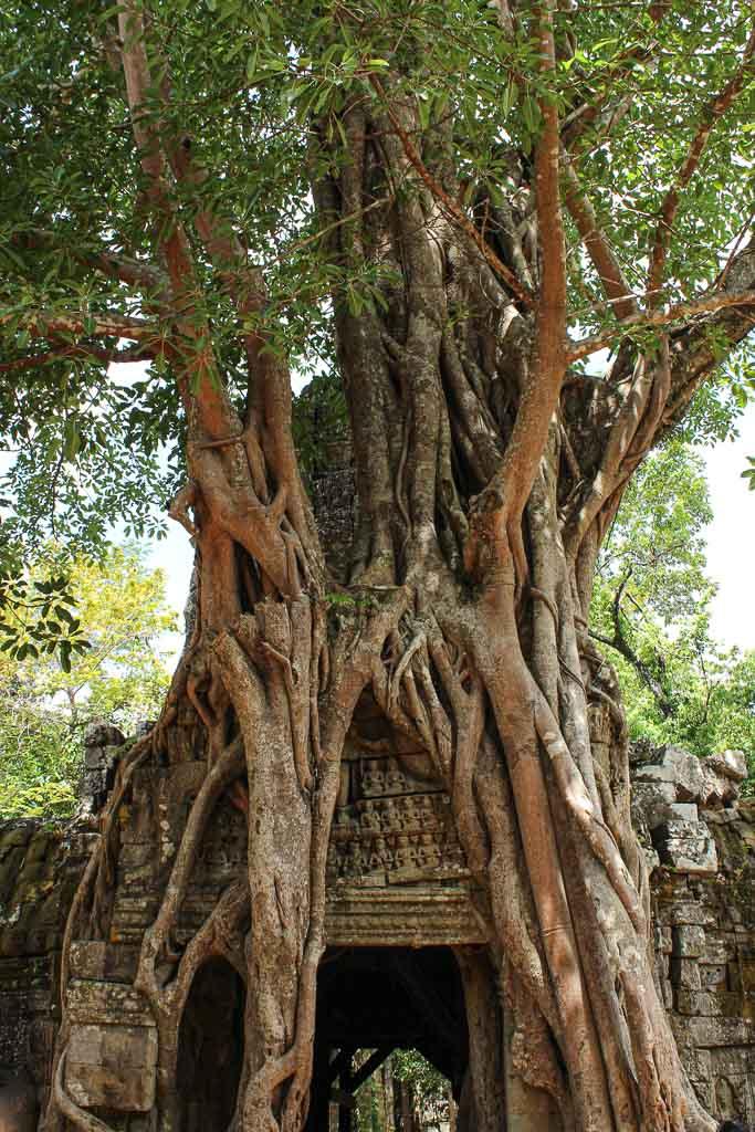 Ta Som, Ta Som temple, Cambodia, strangler fig tree