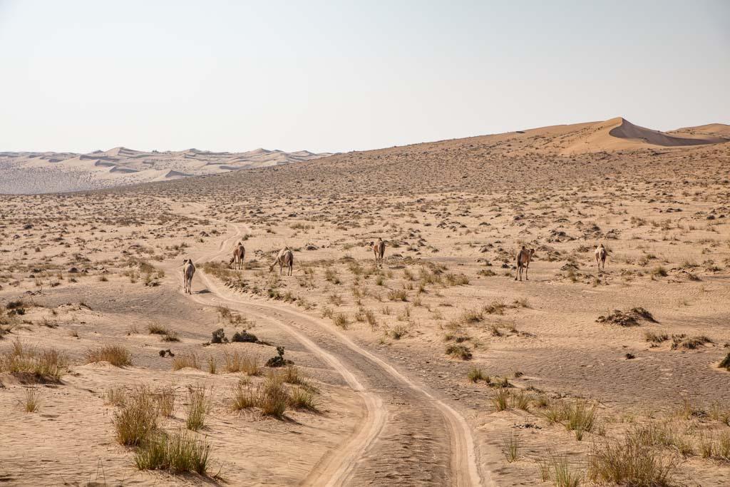 Oman Travel, Oman Travel Guide, Wahiba Sands, Sharaqiya Sands, Wahiba, Wahiba Oman, Wahiba sands Oman, camel, camels, Oman camels, Wahiba camels, Wahiba sands camels, one week in oman, oman road trip, oman roadtrip