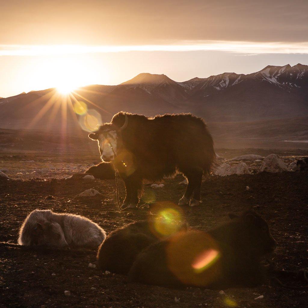 yak, Pamir, Tajikistan, Sary Goram