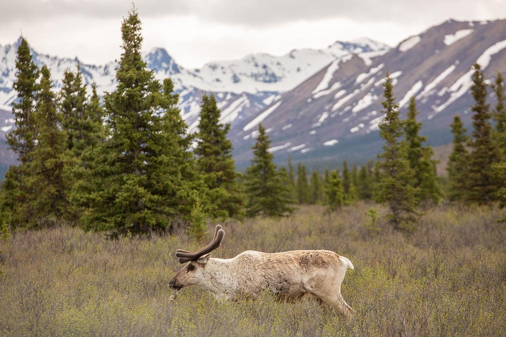 Don't laugh but... this is the first time I've ever seen a caribou in the wild. I have no explanation for why it took 33 years Caribou, Denali, Denali National Park, Alaska