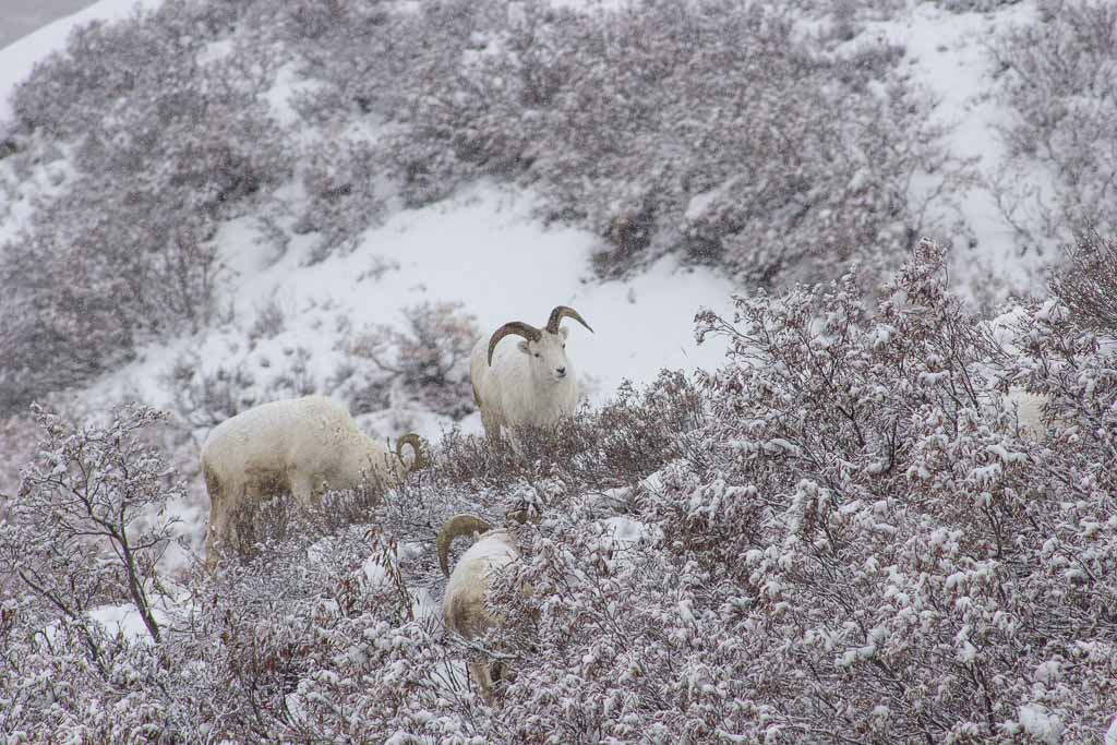 Dall sheep, Dall sheep Alaska, Dall sheep, Denali sheep, Denali, Denali National Park, Alaska