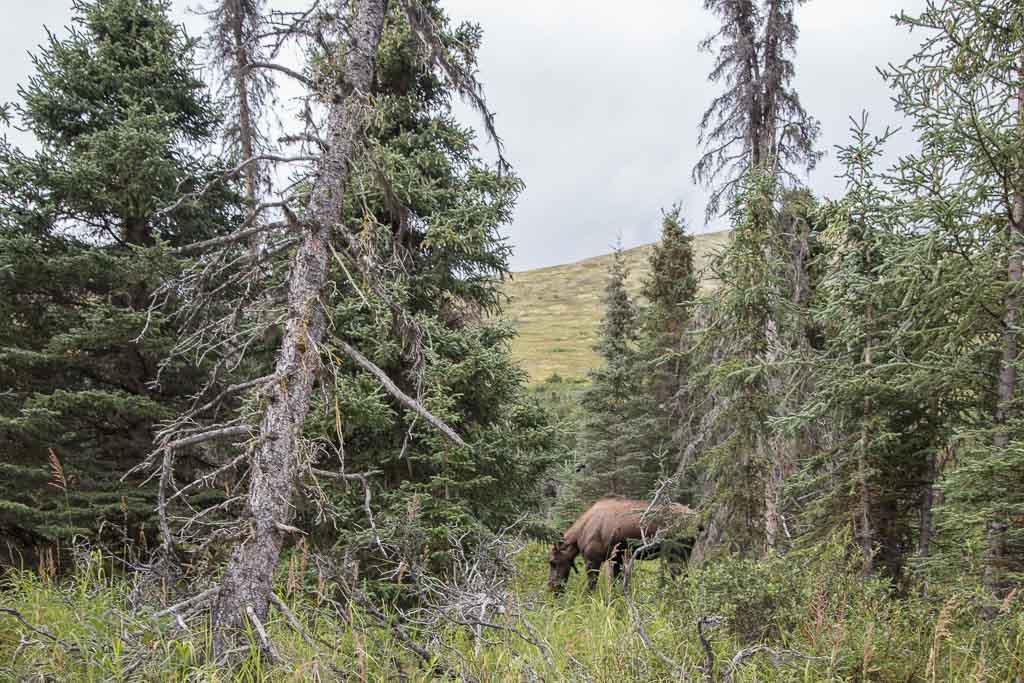 Eagle & Symphony Lakes, Symphony Lake, Eagle River, Alaska, Chugach, Chugach State Park, moose