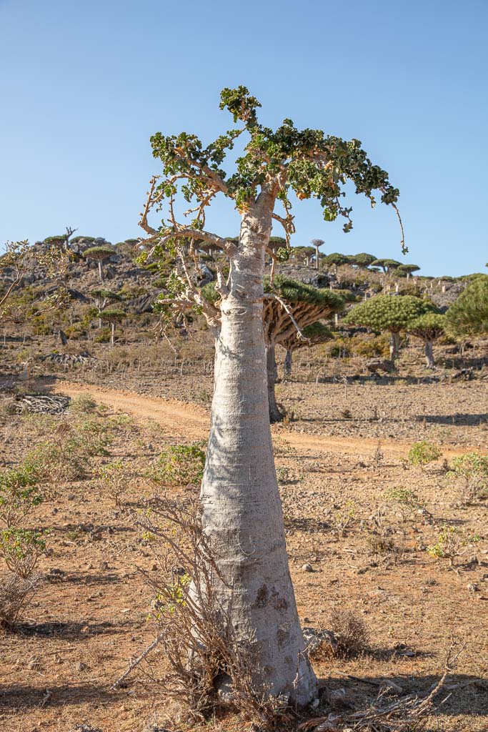 Cucumber Tree, Dendrosicyos Socotranus