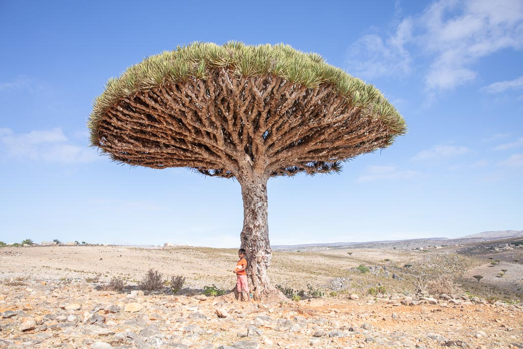 Dragon Blood Tree, Dragon Blood Trees, Dracaena Cinnabari, Socotra, Yemen
