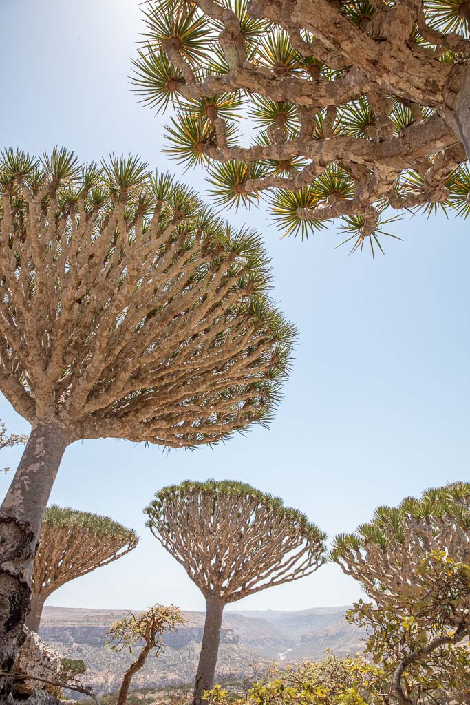 Socotra, Socotra Island, Yemen, Dragon blood tree, Dracaena Cinnabari, dragon blood trees, Firmin, Firhmin, Firhmin Forest, Firmin Forest