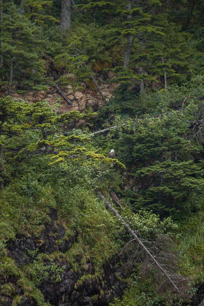 bald eagle, eagle, whale, gulf of Alaska, Alaska, resurrection bay, kenai fjords, kenai Fjords national park, major marine tours
