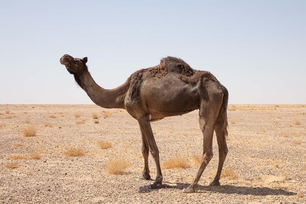Rub al Khali, Yemeni Rub al Khali, Black camel, camel, Yemen, Yemeni Empty Quarter, Empty Quarter, Arabia, Middle East, Al Mahrah, Mahrah, black camel, camel, black dromedary, dromedary