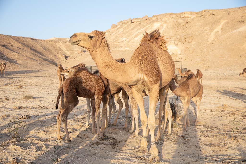 Rub al Khali, Yemeni Rub al Khali, Camels, Yemen, Yemeni Empty Quarter, Empty Quarter, Arabia, Middle East, Al Mahrah, Mahrah, camel, camels, dromedary