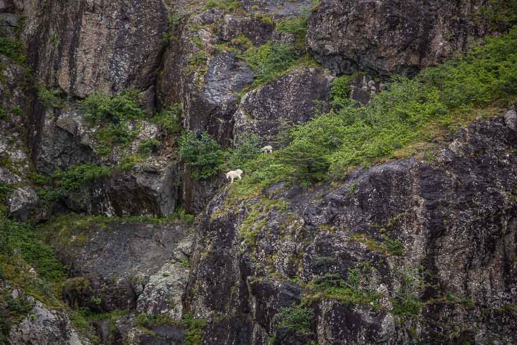 mountain goats, goats, whale, gulf of Alaska, Alaska, resurrection bay, kenai fjords, kenai Fjords national park, major marine tours
