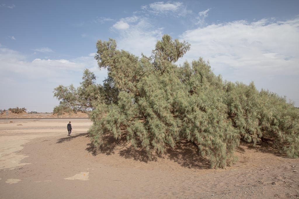 Nebka, Nebka Tree, Tamarix Tree, Gaz tree, Kalouts, Kalouts Desert, Lut Desert, Persia, Iran