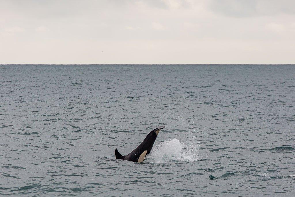 offshore orca, orca, whale, gulf of Alaska, Alaska, resurrection bay, kenai fjords, kenai Fjords national park, major marine tours