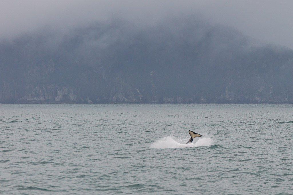 orca, killer whale, whale, gulf of Alaska, Alaska, resurrection bay, kenai fjords, kenai Fjords national park, major marine tours