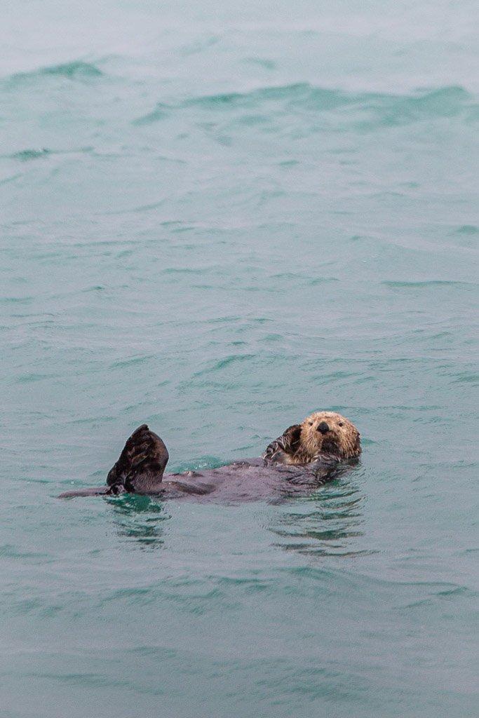 otter, sea otter, gulf of Alaska, Alaska, resurrection bay, kenai fjords, kenai Fjords national park, major marine tours