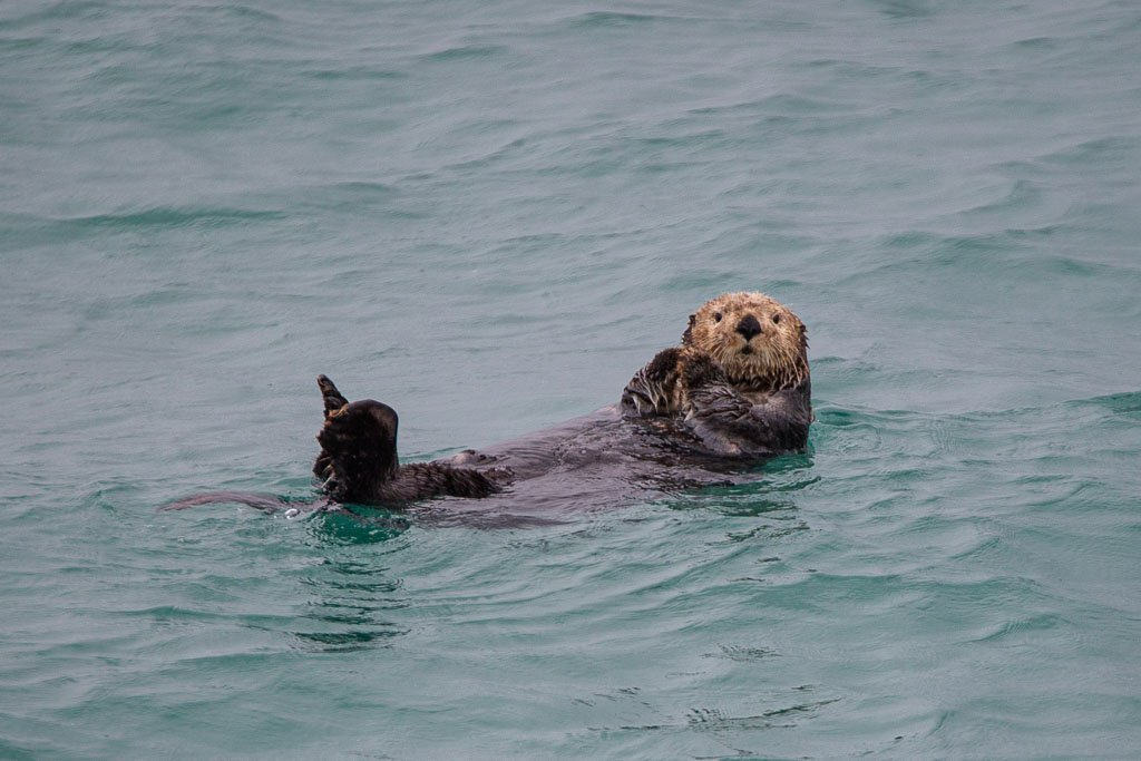 sea otter, otter, whale, gulf of Alaska, Alaska, resurrection bay, kenai fjords, kenai Fjords national park, major marine tours