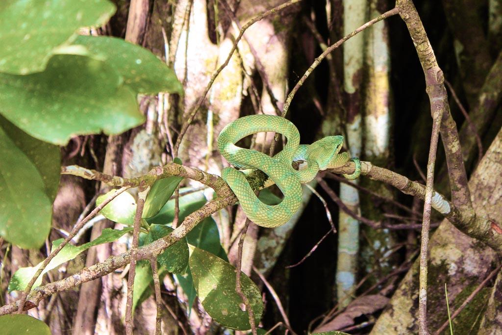 Pit viper, viper, snake, Asia, Malaysia, Borneo, Sarawak, Bako National Park, Bako, Jungle, Rainforest