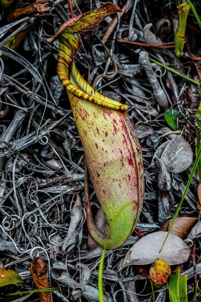 Pitcher Plant, Asia, Malaysia, Borneo, Sarawak, Bako National Park, Bako, Jungle, Rainforest