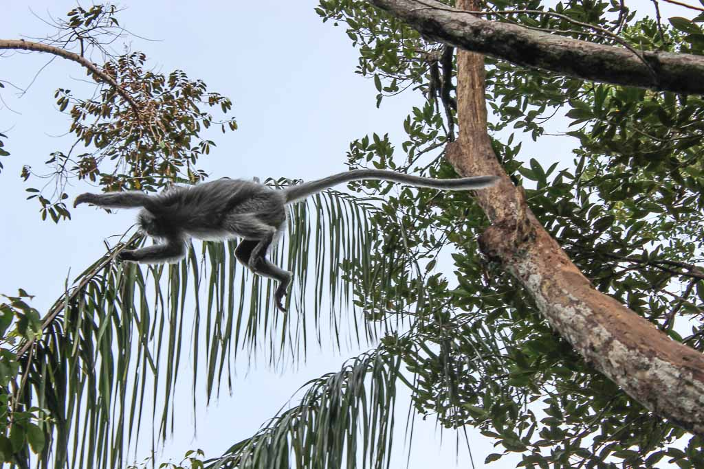 Silvered langur, langur, primate, Asia, Malaysia, Borneo, Sarawak, Bako National Park, Bako, Jungle, Rainforest